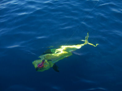A beautiful mahi mahi